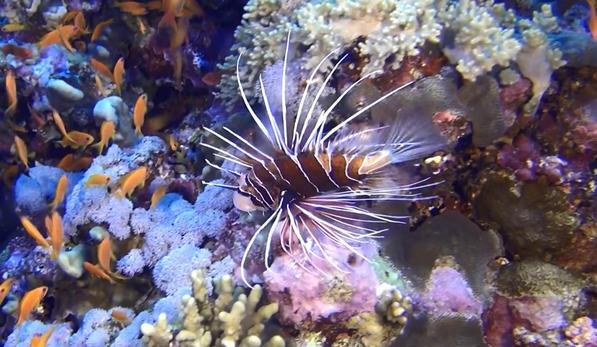 рыба - петух